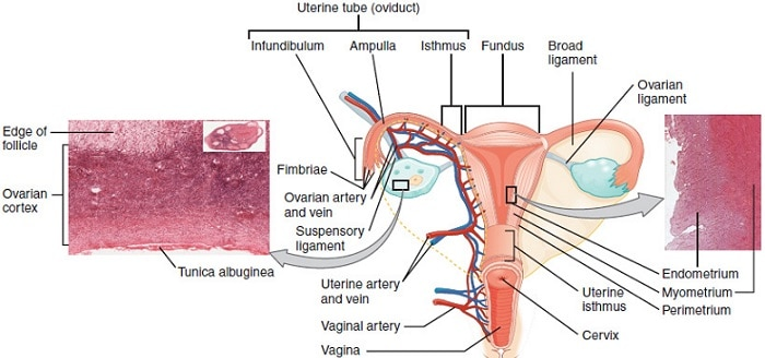 the complex anatomy of an uterus